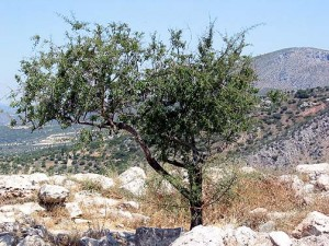 Olive Tree near the Acropolis